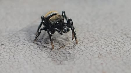 pók : Jumping spider studying a wet surface