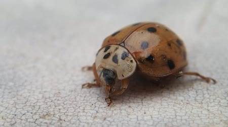 katicabogár : Red ladybird getting clean