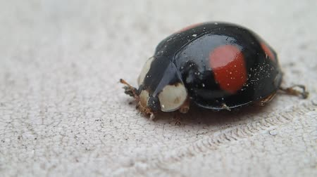 katicabogár : Black ladybug with red dots