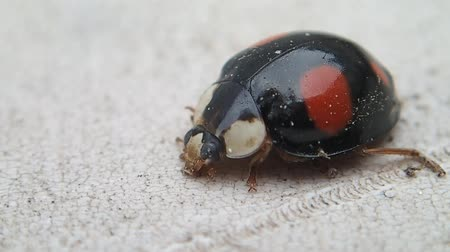 katicabogár : Black ladybug with red dots getting clean Stock mozgókép