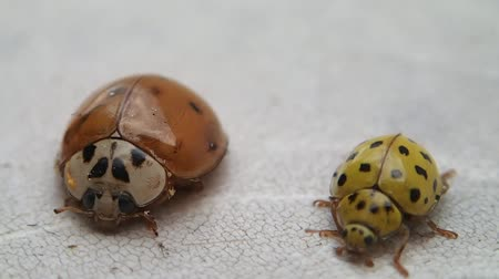 katicabogár : Two ladybirds, the yellow one leaves