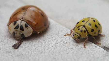 katicabogár : Two ladybirds, the yellow one is moving Stock mozgókép