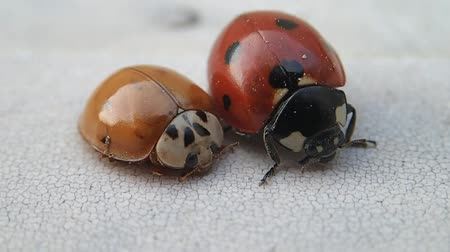 katicabogár : Two ladybirds, the bigger one is moving more