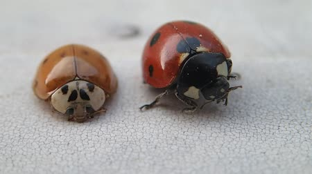 katicabogár : Two ladybirds, the bigger one is cleaning its legs
