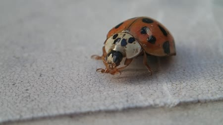 katicabogár : Red ladybird cleaning its legs and mouthpieces