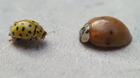 artrópode : Two ladybirds, the yellow one leaves