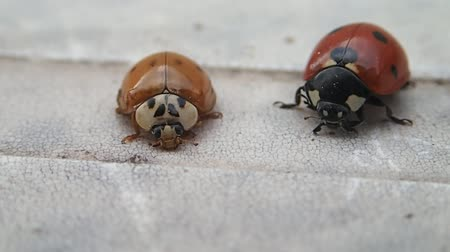 katicabogár : Two ladybirds, the smaller one leaves