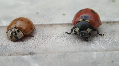 yedi : Two ladybirds, the bigger one is moving more