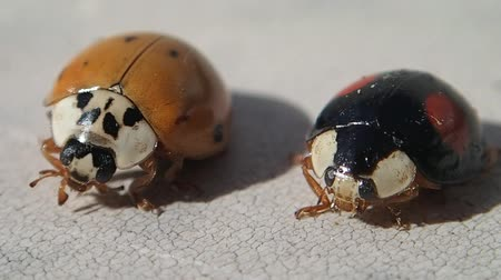 katicabogár : Two ladybirds, one red and one black, trying to get cleaner