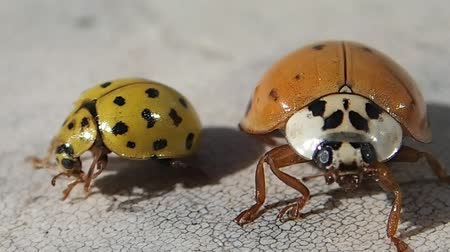 artrópode : Two ladybirds, the red one leaves Vídeos