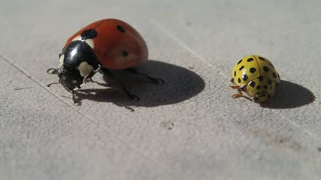 katicabogár : Two ladybugs, one red and one yellow