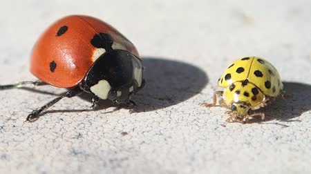 katicabogár : Two ladybugs , one red and one yellow, trying to get cleaner Stock mozgókép