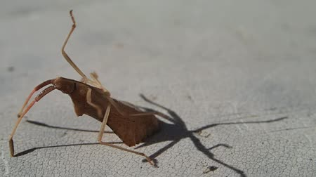 bakıyorum : Brown bug lookin like a leaf trying to turn on its legs Stok Video
