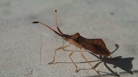 leaf bugs : Brown bug lookin like a leaf leaving