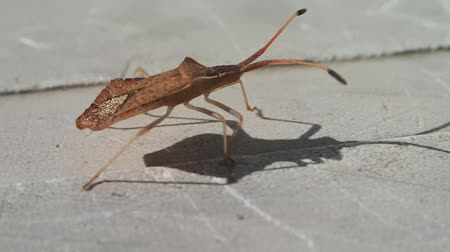 bakıyorum : Brown bug lookin like a leaf walking Stok Video
