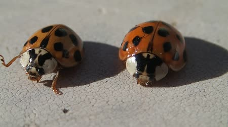 katicabogár : Two ladybugs with many dots