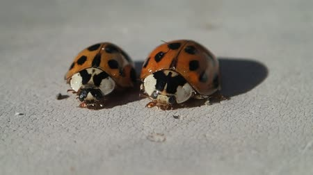 katicabogár : Two ladybugs with many dots, the smaller one leaves