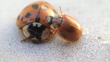 katicabogár : Two ladybugs, the smaller one is trying to go over the bigger one Stock mozgókép