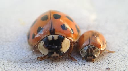 katicabogár : Two ladybirds moving very little