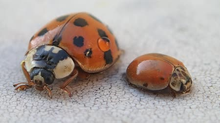 katicabogár : Two ladybirds, the bigger one moves more