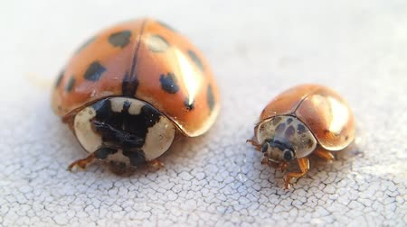 katicabogár : Two ladybirds, the smaller one moves more