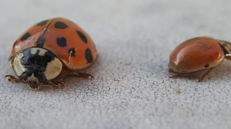 katicabogár : Two ladybirds leaving the frame