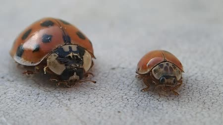 katicabogár : Two ladybirds, the bigger one leaves Stock mozgókép