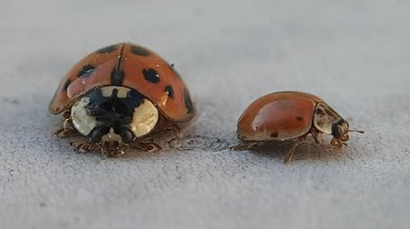 katicabogár : Two ladybirds, one big and one small