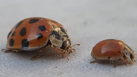 katicabogár : Two ladybirds