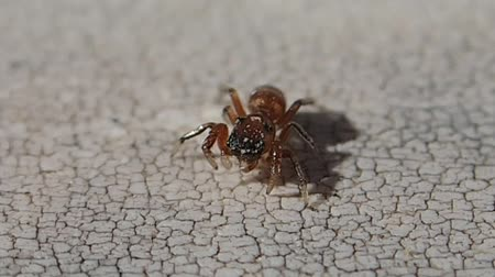 artrópode : Little brown jumping spider moving