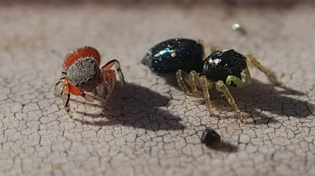 pók : Two jumping spiders on a sticky surface