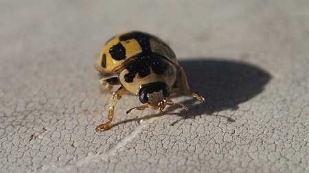 katicabogár : Black and yellow ladybug getting cleaner