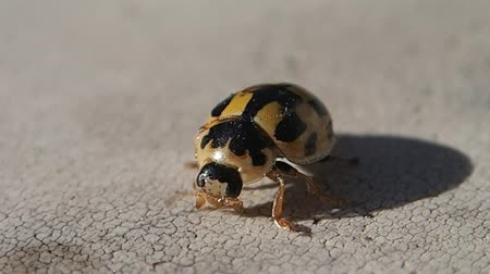 katicabogár : Black and yellow ladybug cleaning its legs