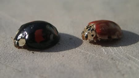 katicabogár : Two ladybugs, one black and one red