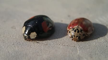 katicabogár : Two ladybugs, one red and one black Stock mozgókép