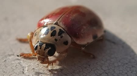katicabogár : Ladybug getting cleaner