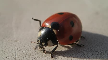 katicabogár : Seven dots ladybug cleaning its legs