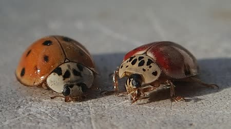 katicabogár : Two ladybugs, the red one moves
