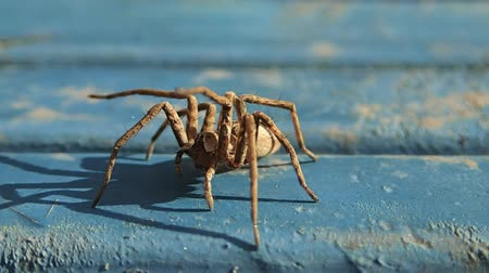 animals in the wild : Brown spider waiting on blue