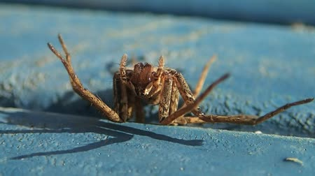 artrópode : Brown spider up side down