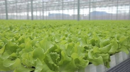 посылка : Green salad grows in greenhouse on hydroponics indoors. Large leaves of verdant salad called batabium are cultivates in warm premise with hydroponic system that allows growing plants without using soil. Young foliage are fixed on light plate-platform loca Стоковые видеозаписи