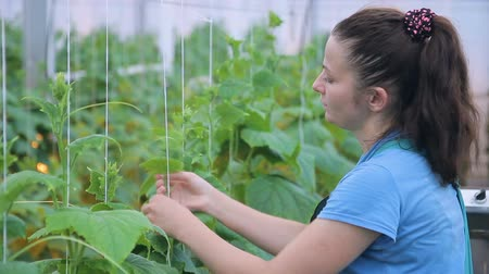 planta de interior : Young woman ties cucumber plants in greenhouse on farm.