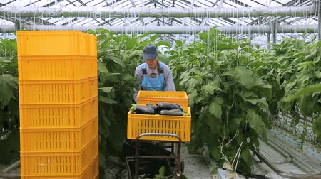 посылка : Young employee moves cart with harvest of aubergines in agro industrial complex. She transfer trolley with containers