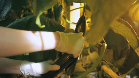 plucks : Agronomist plucks fruit of cucumber growing in greenhouse indoors.