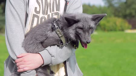 breeder : Guy is holding a tame black fox in a leash in the summer. Exotic color of a wild animal is demonstrated by the breeder in nursery.