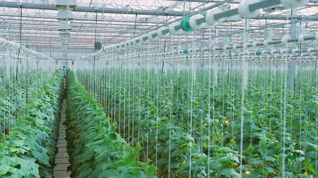 szállító : growing and harvesting cucumbers in greenhouse on hydroponics indoors. Modern agricultural holding lot of fresh vegetables and herbs are grown for sale in west of France. concept fresh crisp vegetables