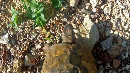 macadam : Tortoise walks on gravel searching for plants. Close up from above, camera attached to the tortoise. Stock Footage