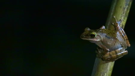 tree frog : Polypedates leucomystax hang on bamboo and like living night