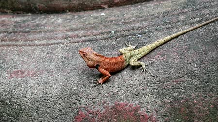 игуана : tree lizard on the cement wall carefully and ready to run away when there is a danger Стоковые видеозаписи