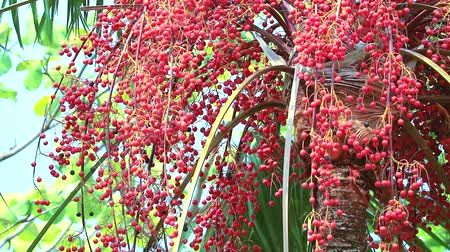 areca : red palm seeds growing all top tree in garden in rain season Stock Footage
